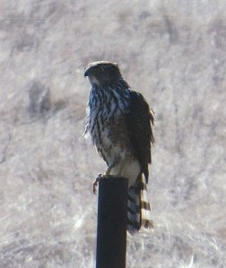An immature Coopers Hawk